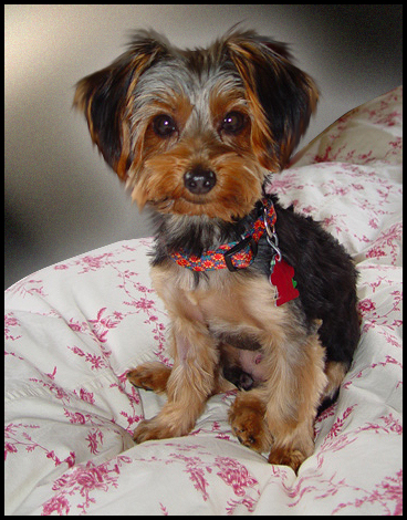 Yorkie Haircut Pictures http://pics7.this-pic.com/key/yorkie%20puppy%20haircut